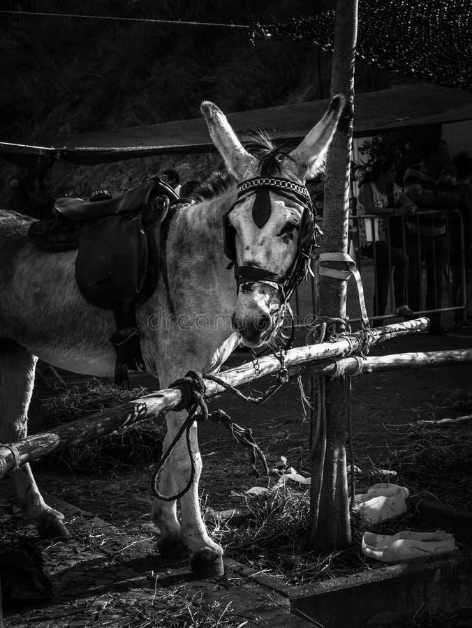 驮货驴子 免版税图库摄影