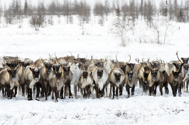 驯鹿为一最佳吃草移居在寒带草原 免版税库存照片