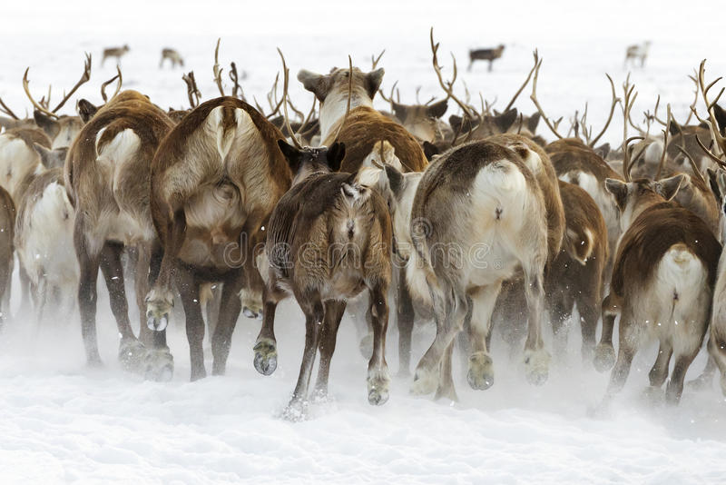 驯鹿为一最佳附近吃草移居在寒带草原极圈在一个冷的冬日 免版税库存照片