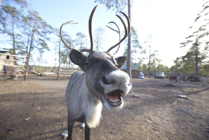 驯鹿北部Khanty的土著人民的游牧人阵营 免版税库存照片