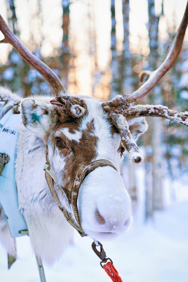 驯鹿在冬天森林里在罗瓦涅米拉普兰芬兰 免版税库存照片