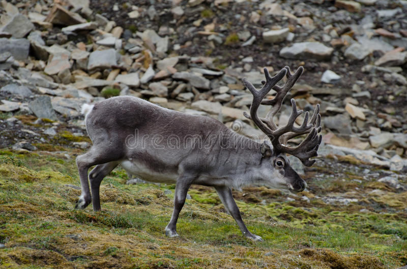 驯鹿在斯瓦尔巴特群岛寒带草原 库存图片