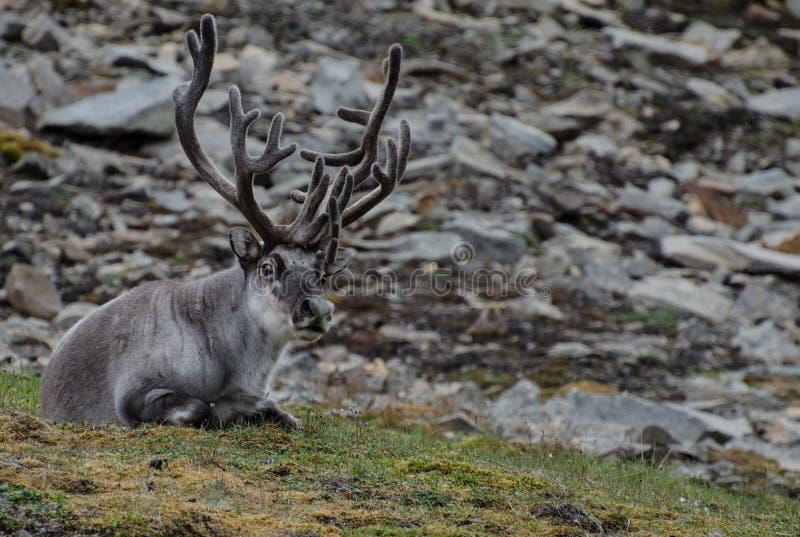 驯鹿在斯瓦尔巴特群岛寒带草原 图库摄影