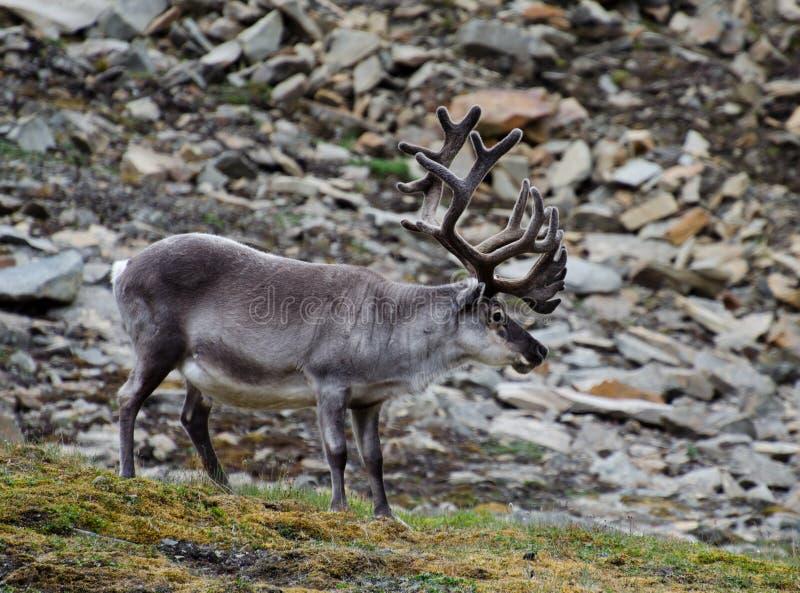 驯鹿在斯瓦尔巴特群岛寒带草原 免版税库存图片