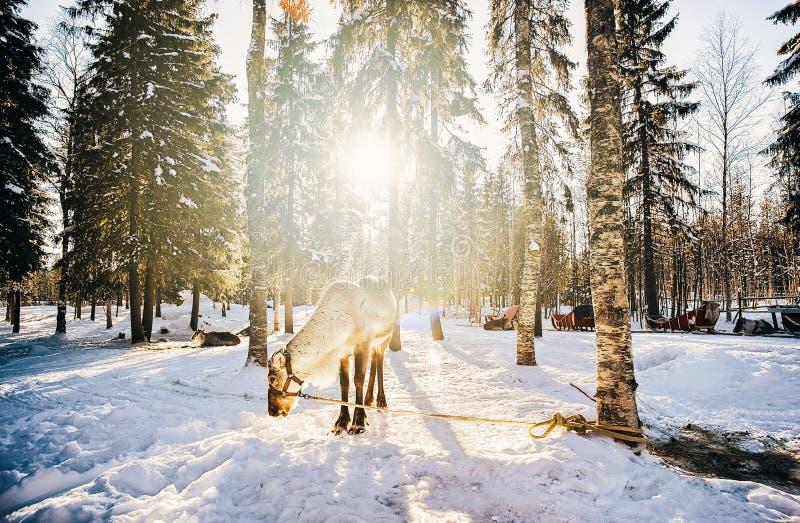 驯鹿在芬兰在冬天日落的拉普兰 免版税库存照片
