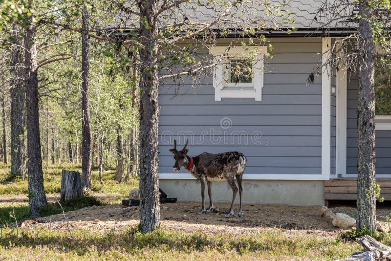 驯鹿在芬兰欧洲 图库摄影