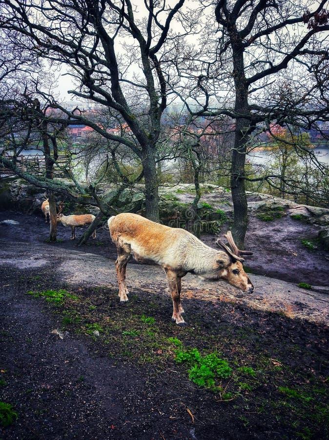 驯鹿在黑暗的冬天森林里 库存图片