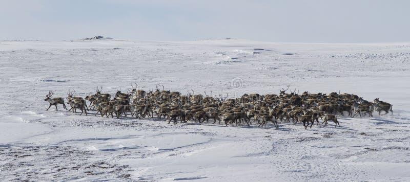 驯鹿大牧群在冬天寒带草原 免版税库存图片