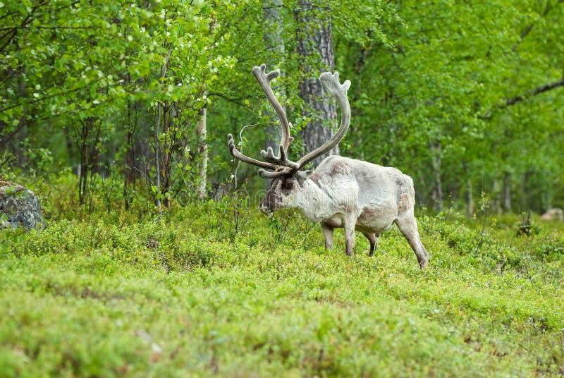 驯鹿属驯鹿tarandus 库存图片