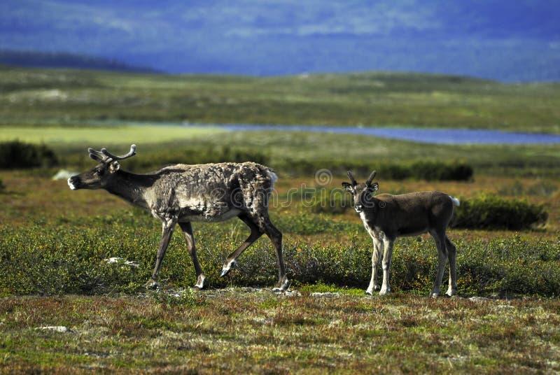 驯鹿母亲和小牛 免版税库存图片