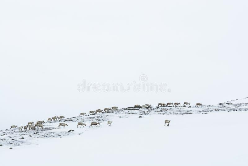 驯鹿牧群冬天瑞典 图库摄影