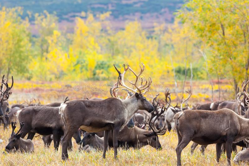 驯鹿牧群在寒带草原在秋天 在前景正面一头美丽的鹿 免版税库存图片