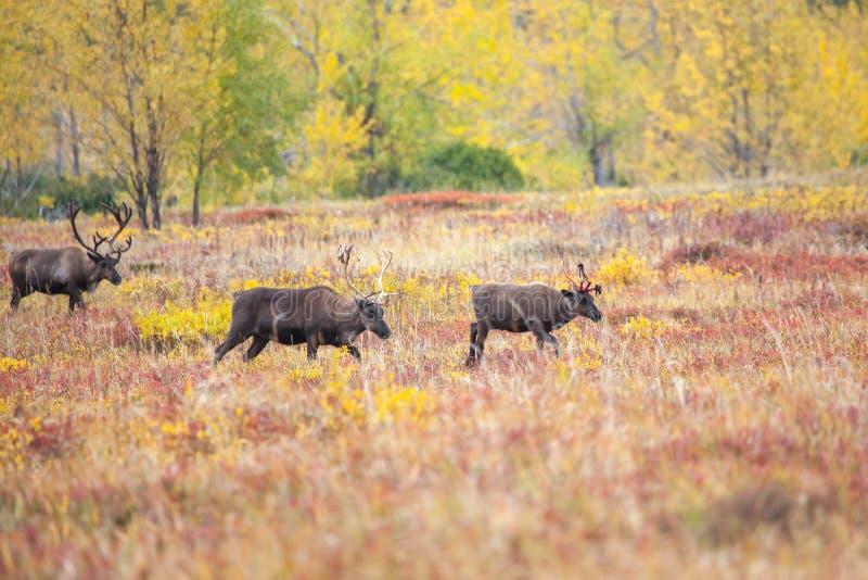 驯鹿牧群在寒带草原在秋天 免版税库存照片