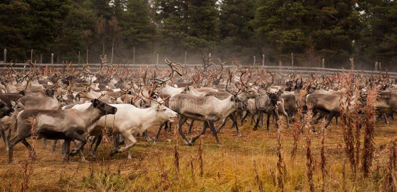 驯鹿牧群 免版税图库摄影