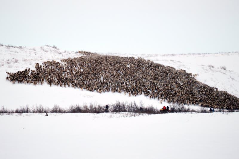 驯鹿牧群 免版税库存图片