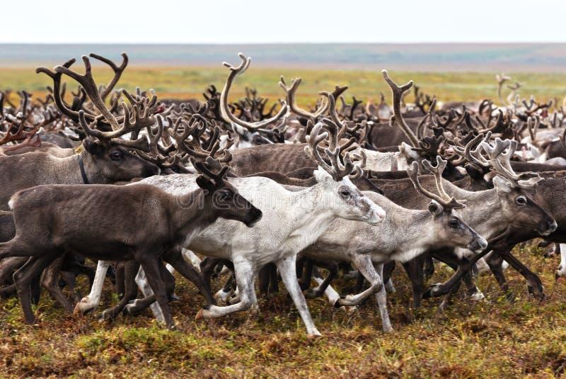 驯鹿的迁移 库存照片