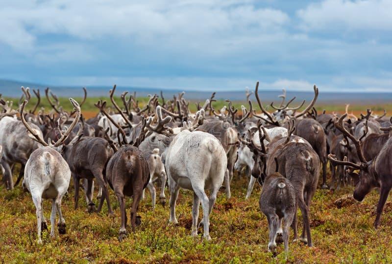 驯鹿的迁移 免版税库存照片