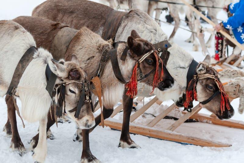 驯鹿队  免版税图库摄影