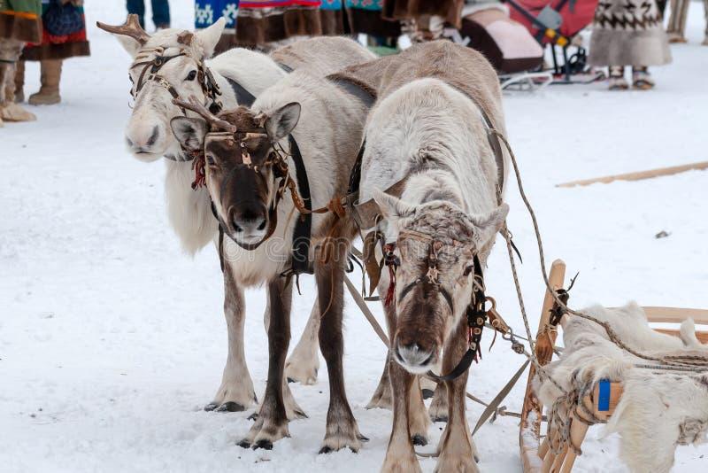 驯鹿队  图库摄影