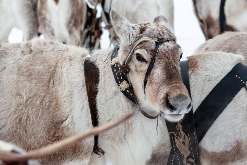 驯鹿队  免版税库存照片
