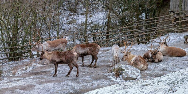 驯鹿驯鹿属在白雪的tarandus雄鹿在一寒冷冬天天期间在斯堪森博物馆露天博物馆,斯德哥尔摩,瑞典 库存照片