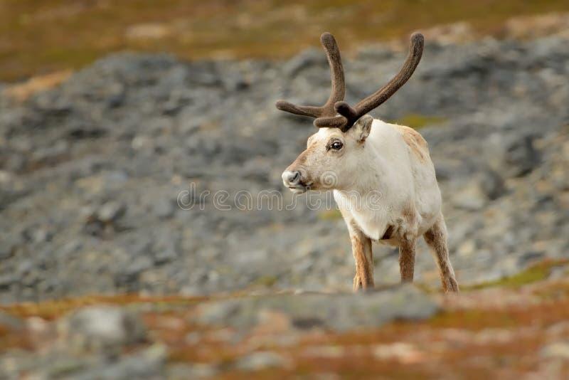 驯鹿-在北部的驯鹿属tarandus -瑞典,挪威,芬兰,俄罗斯 库存图片