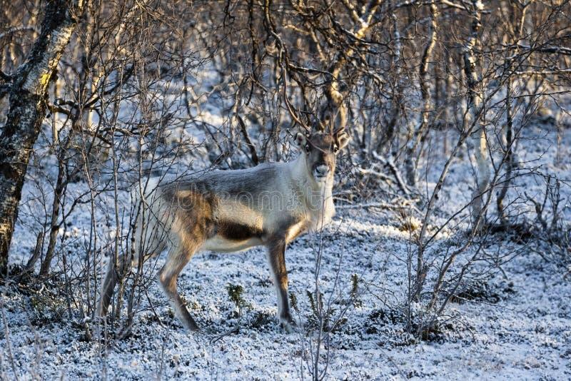 驯鹿/驯鹿属tarandus在冬天森林里 图库摄影