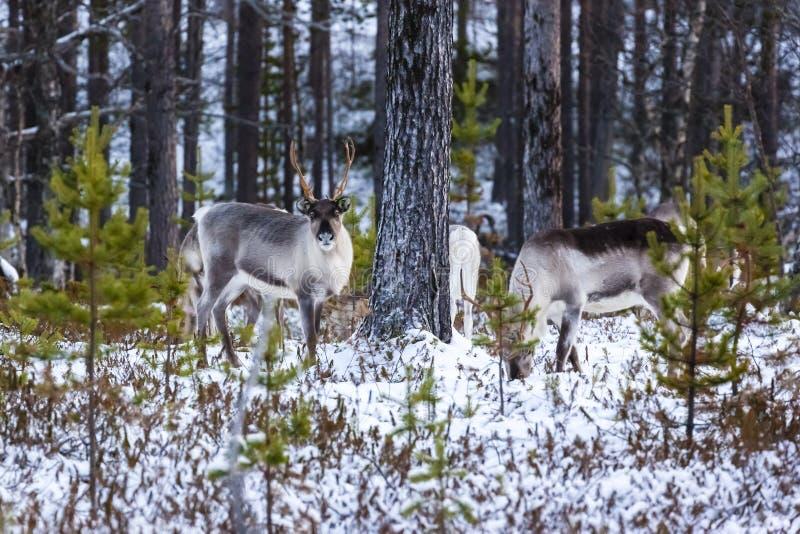 驯鹿/驯鹿属tarandus在冬天森林里 库存照片