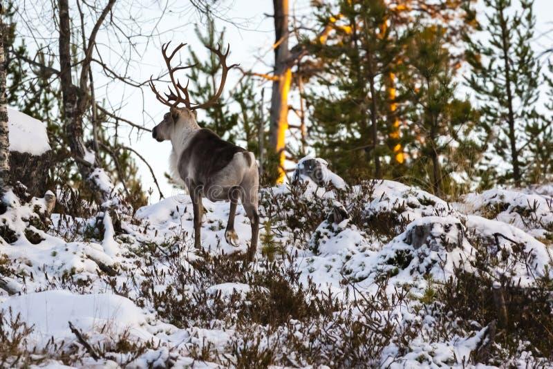 驯鹿/驯鹿属tarandus在冬天森林里 免版税库存图片