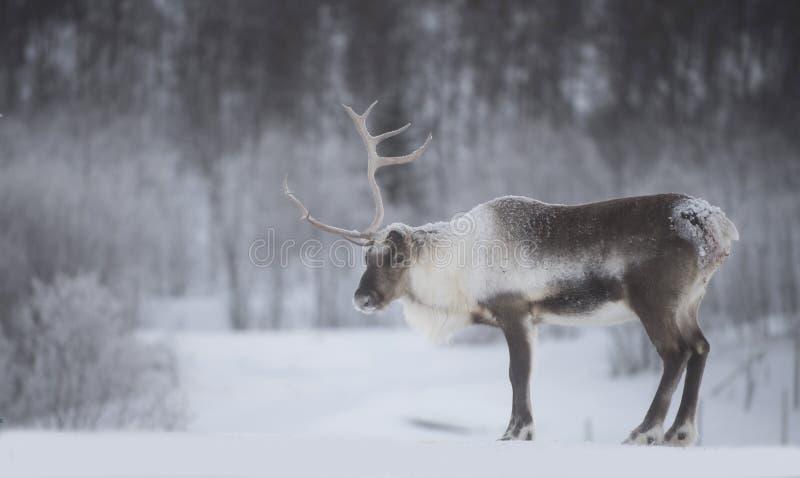 驯鹿 图库摄影