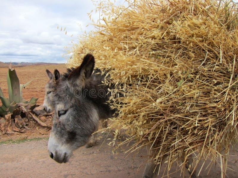 驴农村的秘鲁 库存图片