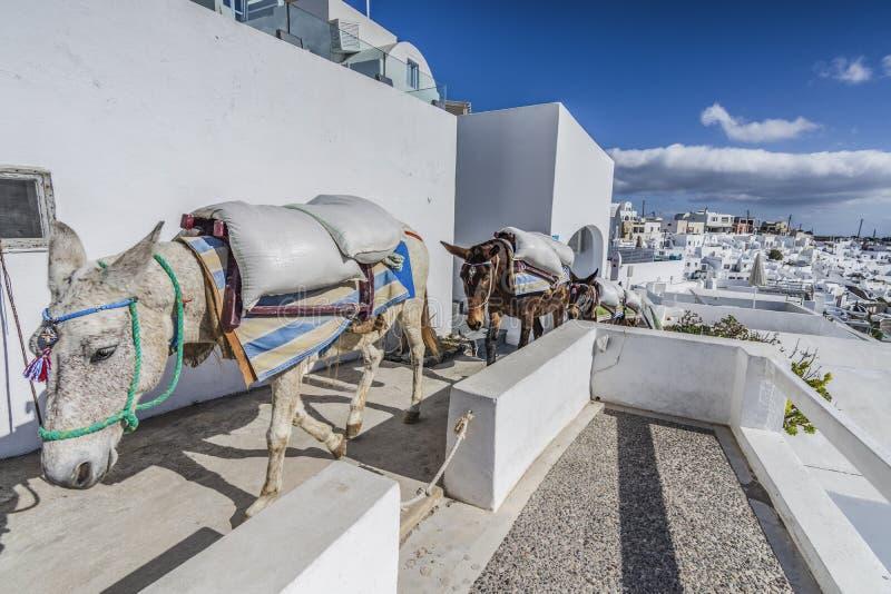 驴在圣托里尼 免版税库存图片
