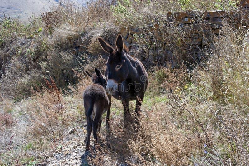驴子和她的孩子在山里散步 库存照片