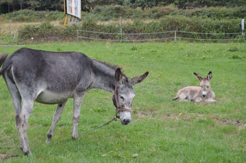 驴最近负担与他的母亲在一个农场在阿斯图里亚斯 免版税图库摄影