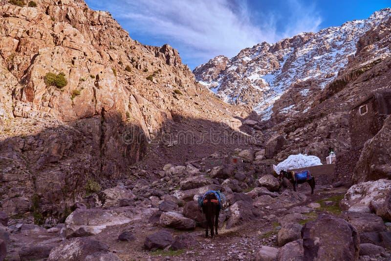 驴运输在Jebel图卜卡勒峰附近的阿特拉斯山脉 库存图片