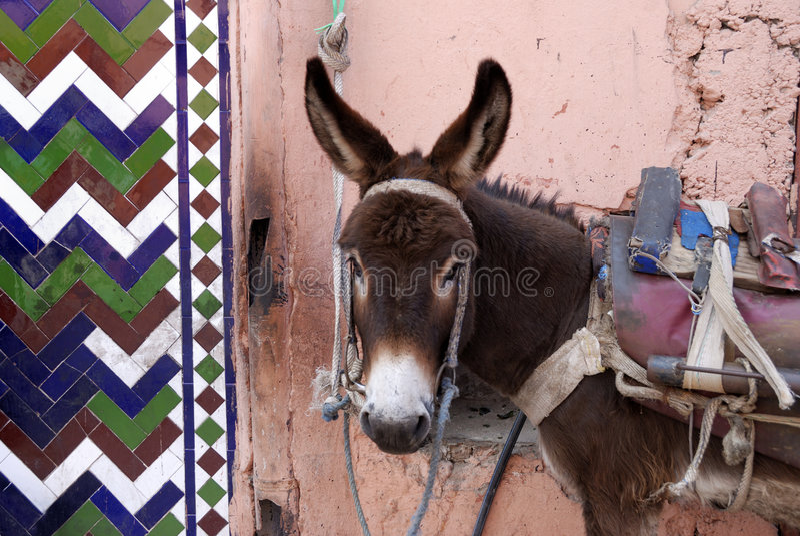 驴马拉喀什都市的摩洛哥 免版税库存照片