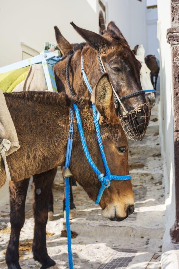 驴,圣托里尼海岛 免版税图库摄影
