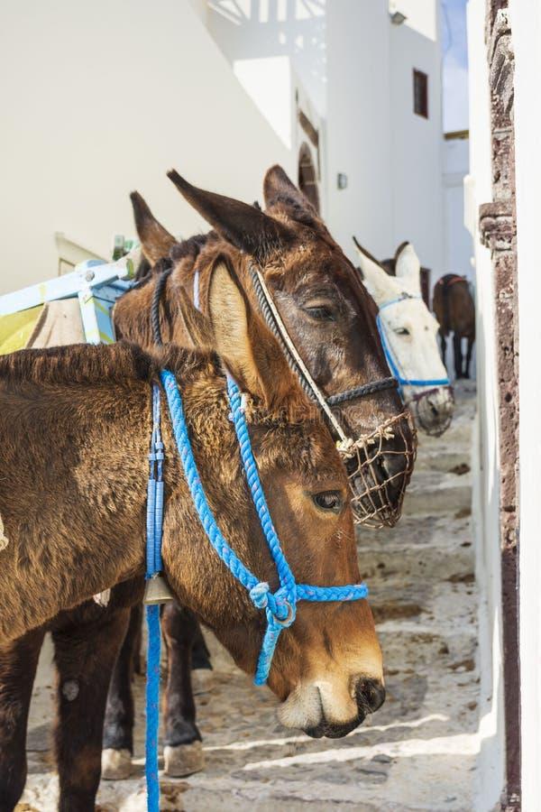 驴,圣托里尼海岛 免版税库存照片