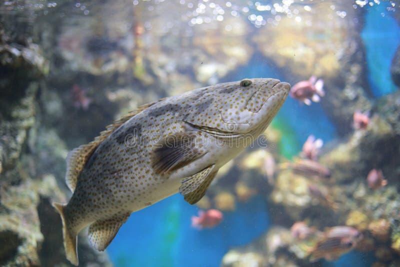 驼背石斑鱼 库存照片