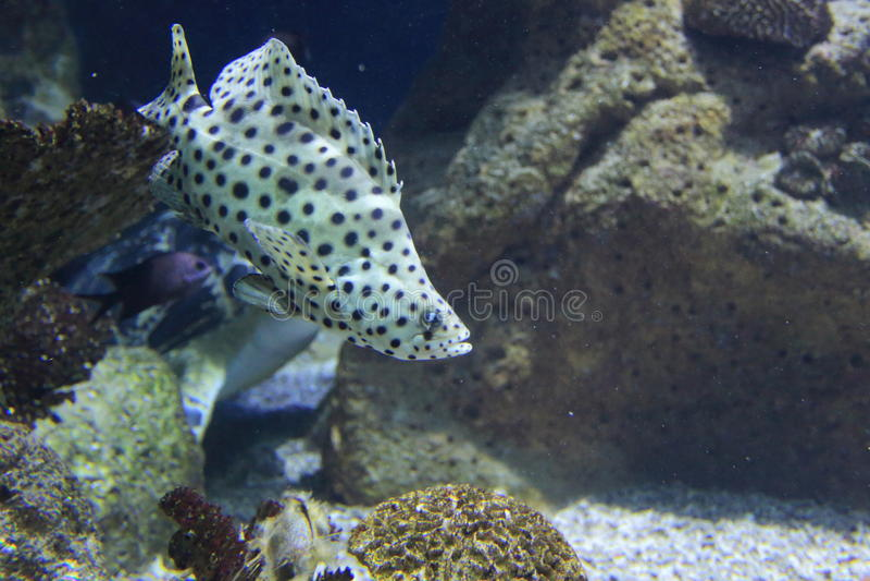 驼背石斑鱼 库存图片