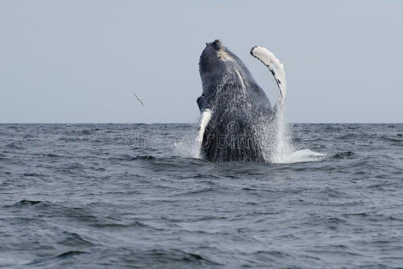 驼背跳鲸鱼 图库摄影