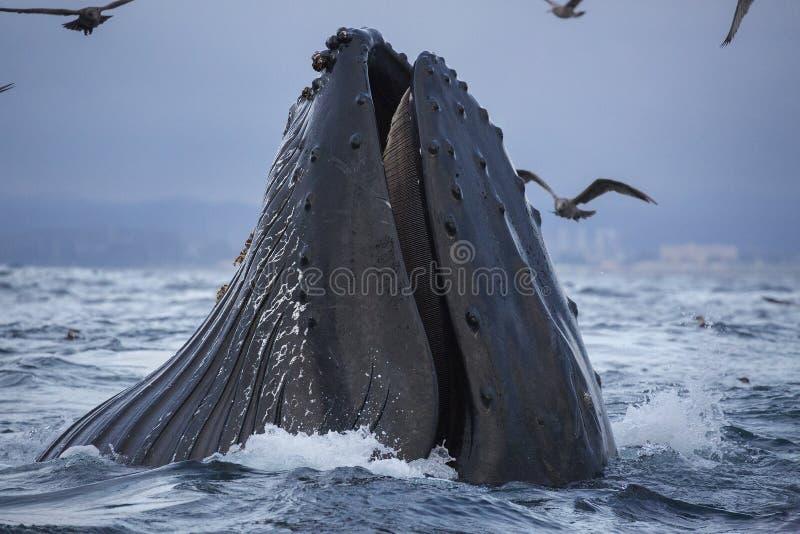 驼背鲸哺养 免版税库存照片