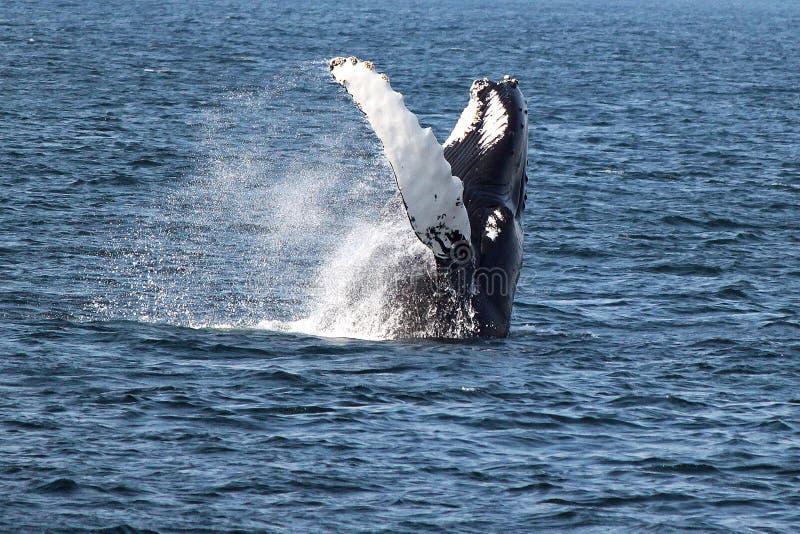 驼背鲸在大西洋 免版税图库摄影