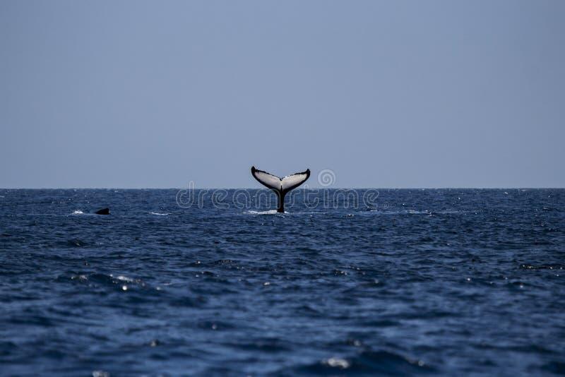 驼背鲸尾在莫桑比克的 库存照片