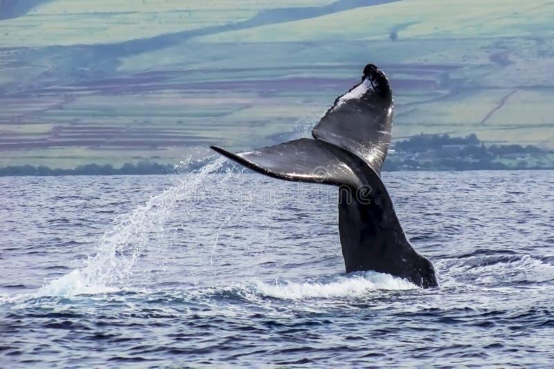 驼背鲸尾巴从海洋涌现在夏威夷 免版税库存照片