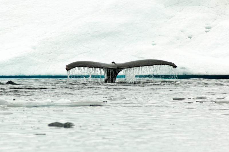 驼背鲸尾标比目鱼潜水在antartic水中 图库摄影