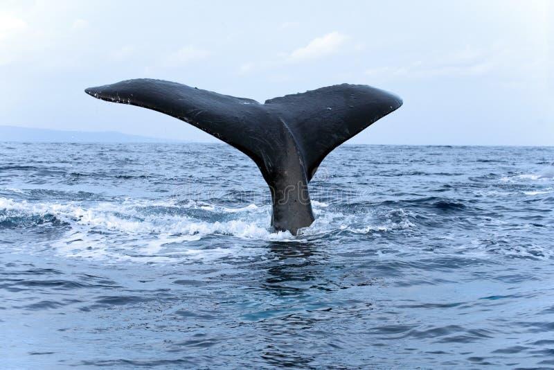 驼背鲸尾标 库存图片