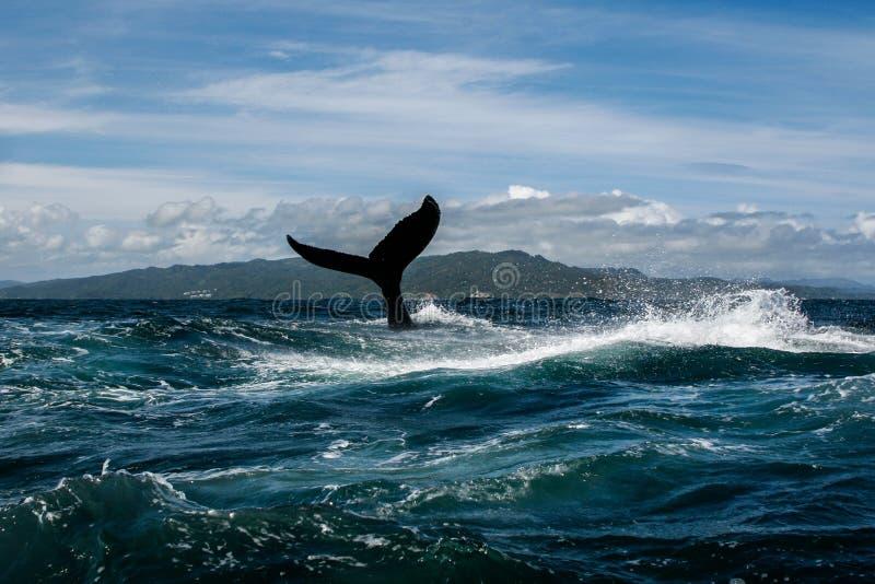 驼背鲸尾巴 库存图片