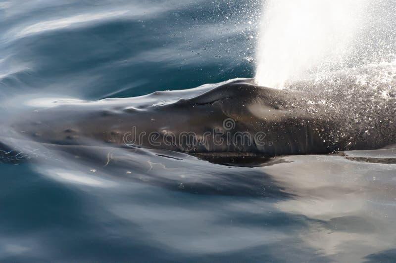 驼背鲸打击孔-格陵兰 免版税库存照片