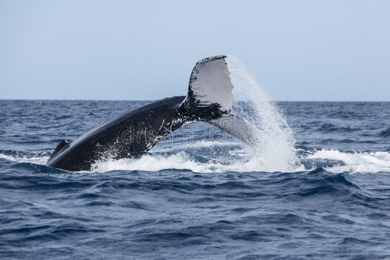 驼背鲸投掷的尾巴在表面 图库摄影